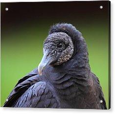 Black Vulture Portrait Acrylic Print