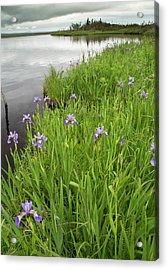 Blue Flag Iris (iris Versicolor) Acrylic Print