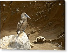 Blue-footed Booby Acrylic Print by Sami Sarkis