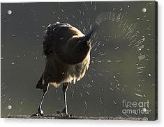 Boat Tailed Grackle Acrylic Print by Meg Rousher