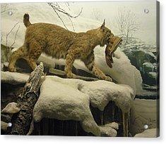 Bobcat Diorama Acrylic Print
