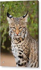 Bobcat (lynx Rufus Acrylic Print