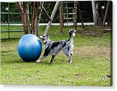 Border Collie Chasing Ball Acrylic Print
