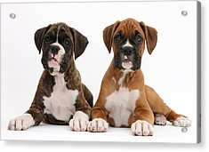 Boxer Puppies Acrylic Print by Mark Taylor