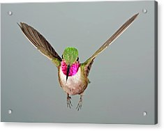 Acrylic Print featuring the photograph Broadtail Hummingbird Visualized by Gregory Scott