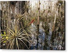 Bromeliad Tillandsia Fasciculata Acrylic Print