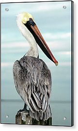 Acrylic Print featuring the photograph Brown Pelican by Geraldine Alexander