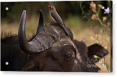 Buffalo And Oxpecker Acrylic Print