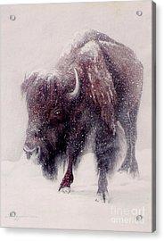 Buffalo Blizzard Acrylic Print