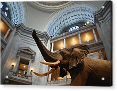 Bull Elephant In Natural History Rotunda Acrylic Print
