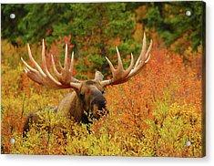 Bull Moose Feeding, Denali National Acrylic Print by Michel Hersen