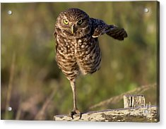 Burrowing Owl Photograph Acrylic Print by Meg Rousher