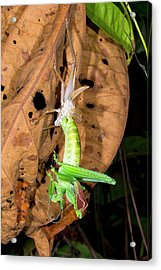 Bush Cricket Shedding Its Skin Acrylic Print by Dr Morley Read