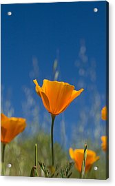 California Poppy Acrylic Print