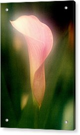 Calle Lily Acrylic Print