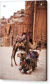 Camels Acrylic Print by Jelena Jovanovic