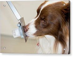 Cancer Detection Dog Training Acrylic Print by Louise Murray