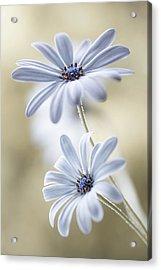 Cape Daisies Acrylic Print