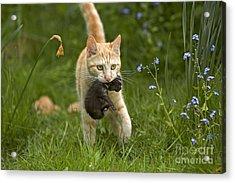 Cat Carrying Kitten Acrylic Print by Jean-Michel Labat