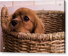 Cavalier King Charles Spaniel Puppy In Basket Acrylic Print