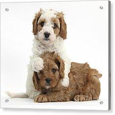 Cavapoo Puppies Hugging Acrylic Print