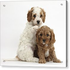 Cavapoo Puppies Acrylic Print