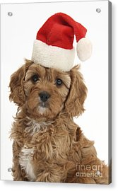 Cavapoo Puppy In Christmas Hat Acrylic Print by Mark Taylor