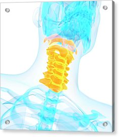 Cervical Spine Acrylic Print by Sebastian Kaulitzki