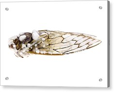 Cicada Infected With Fungus Acrylic Print by Science Photo Library