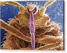Cimex Lectularius, Bed Bug, Sem Acrylic Print by Science Source