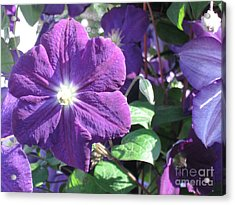 Clematis With Blazing Center Acrylic Print