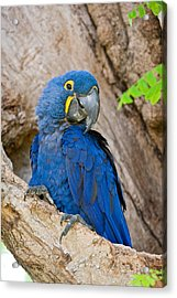 Close-up Of A Hyacinth Macaw Acrylic Print by Panoramic Images