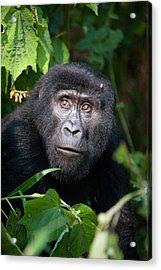 Close-up Of A Mountain Gorilla Gorilla Acrylic Print