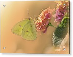 Clouded Sulphur Butterfly Acrylic Print by Betty LaRue