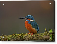 Common Kingfisher Acrylic Print by Paul Scoullar