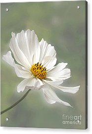 Cosmos Flower In White Acrylic Print
