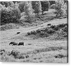 Cows Grazing In Field Rockport Maine Acrylic Print