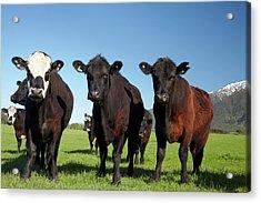 Cows Near Kaikoura, And Seaward Acrylic Print