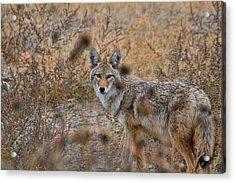 Coyote Eyes Acrylic Print