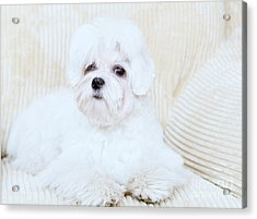 Cute Maltese Acrylic Print by Monika Wisniewska
