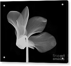 Cyclamen Flower X-ray Acrylic Print by Bert Myers