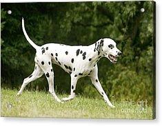 Dalmatian Dog Acrylic Print by Jean-Michel Labat
