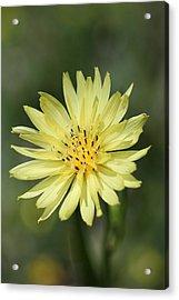 Dandelion Acrylic Print by Ester  Rogers
