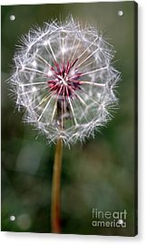 Acrylic Print featuring the photograph Dandelion Seed Head by Henrik Lehnerer