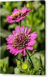 Desert Flower Acrylic Print by Pete Mecozzi