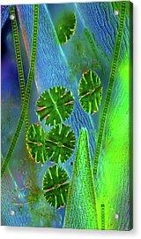 Desmids On Sphagnum Moss Acrylic Print by Marek Mis