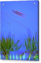 Diatom And Green Algae Acrylic Print by Marek Mis