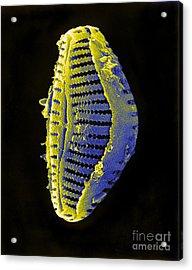 Diatom Acrylic Print by David M. Phillips