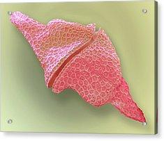 Dinoflagellate Protozoan Acrylic Print by Steve Gschmeissner