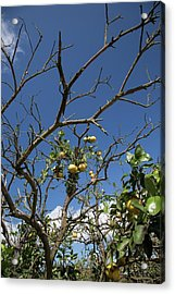 Diseased Grapefruit Tree Acrylic Print